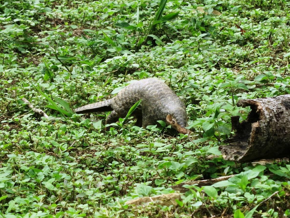 穿山甲正往檳榔枯木取食螞蟻。圖/嘉義林區管理處提供
