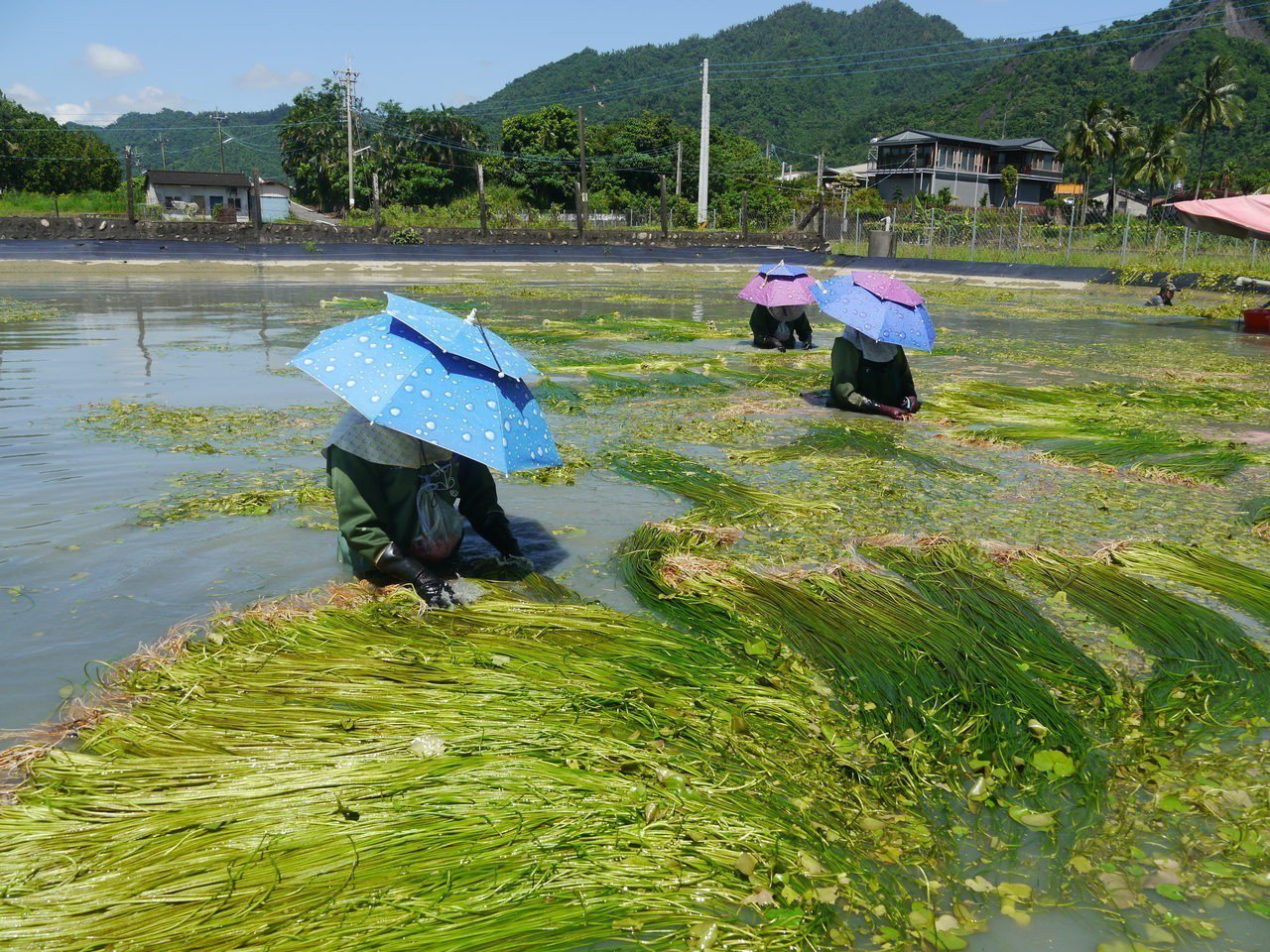 美濃野蓮是當地重要作物,有了職災保險,採蓮工人若中暑可獲得理賠。記者徐白櫻/攝影