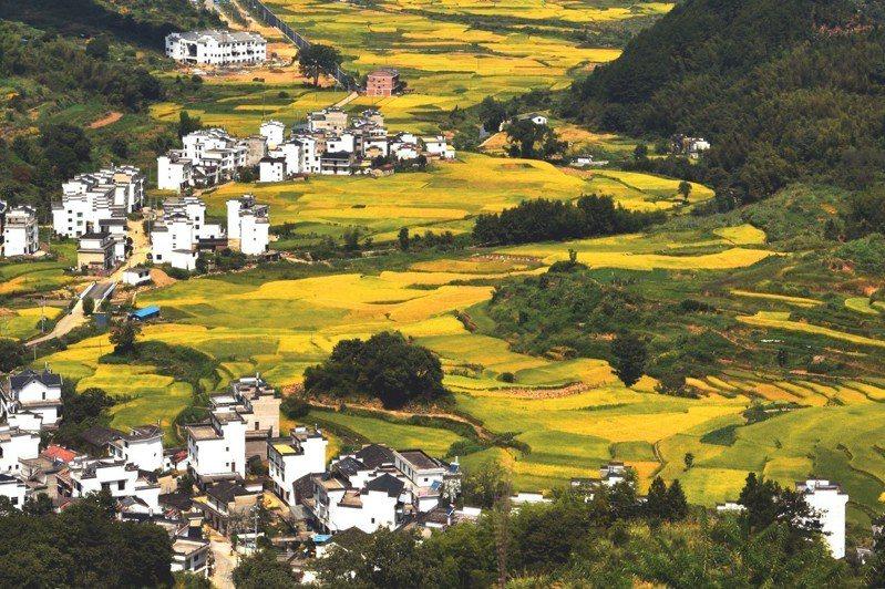 圖為中國最美鄉村江西婺源縣,正值收穫期的金黃水稻與周邊建築構成了一幅美好的田園豐收圖卷。中新社