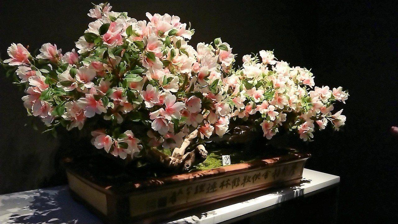 張大千的花器種植連理毛杜鵑,盛開時燦爛繽紛。記者卜敏正/攝影