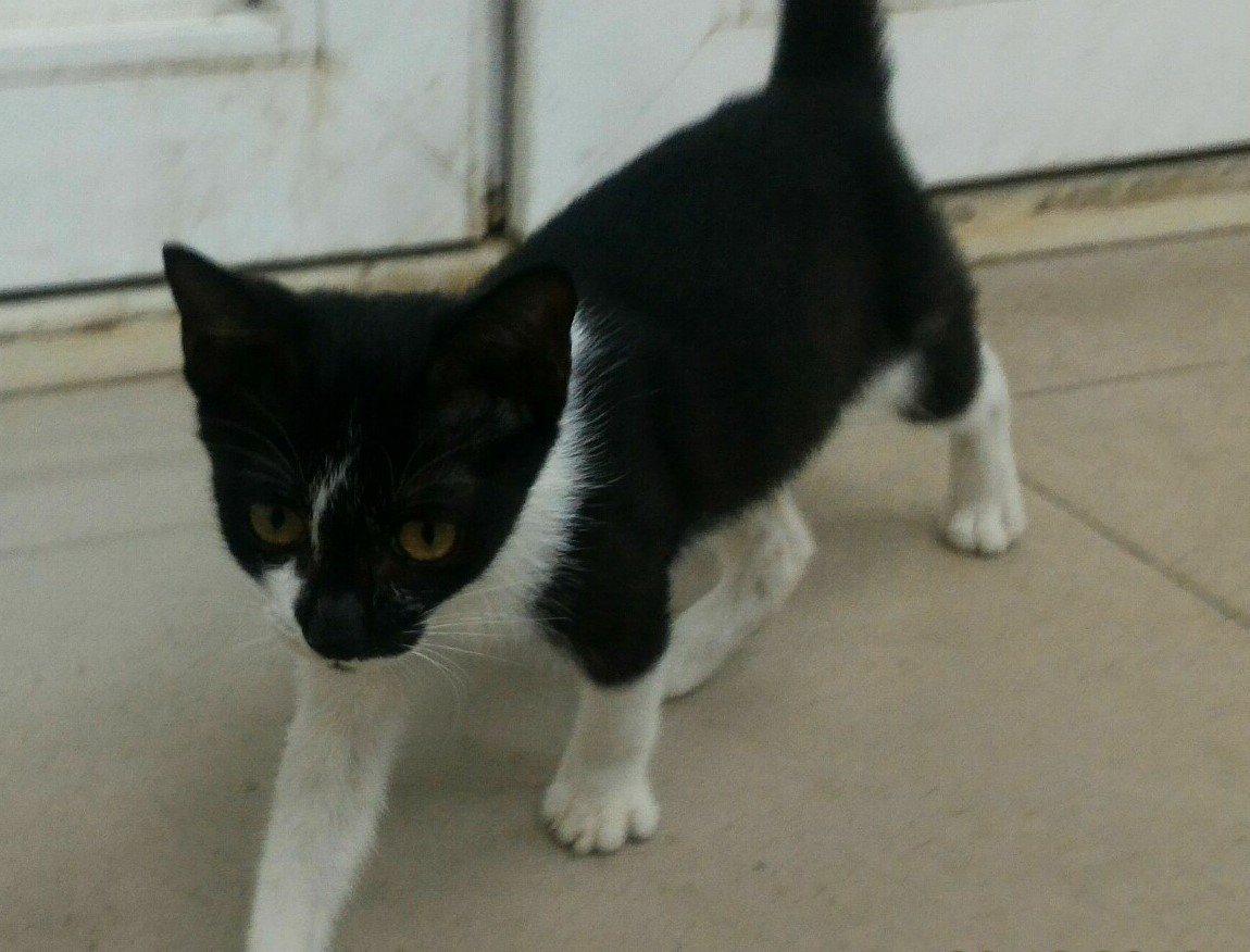 小黑白貓摔斷腿善心女救援,經獸醫手術後已治癒,萌樣馬上被認領。圖/新北市動保處提...