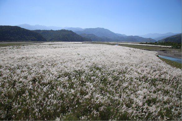 為了抵抗風飛沙,經濟部水利署第一河川局在宜蘭的蘭陽溪床復育芒草區,種上甜根子草,芒花盛開,打造出白芒如雪的夢幻美景。圖/第一河川局提供