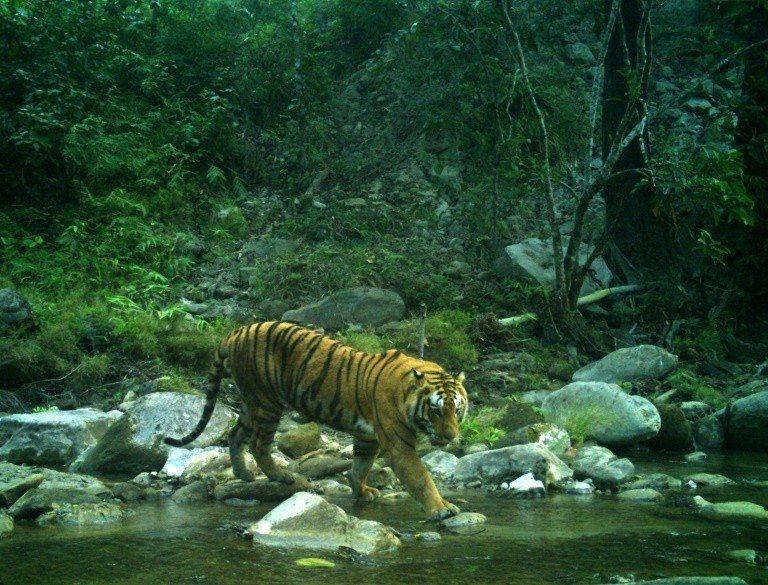 尼泊爾普查顯示,目前成虎數量已從2009年的121隻增加到235隻。法新社