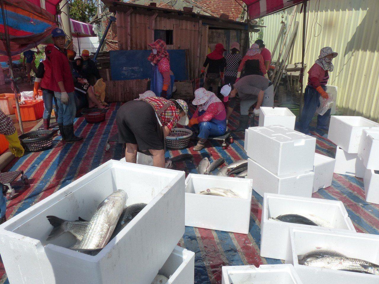 漁民在烏魚池裡圍網,連網帶魚吊掛上岸,很多老饕爭相搶購。記者劉明岩/攝影
