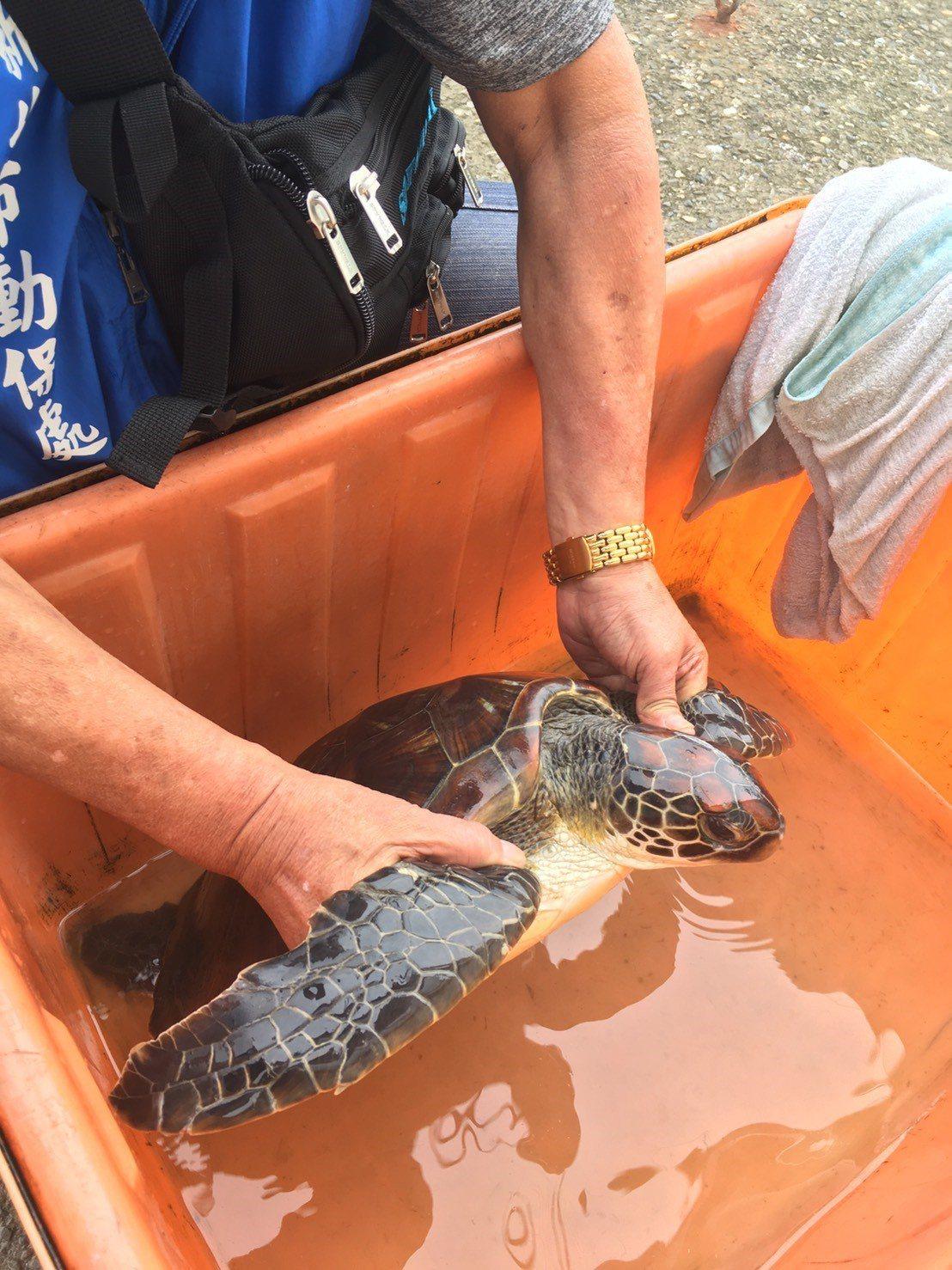 今天一隻綠蠵龜誤闖石門漁港,活力十足,遊客爭睹,將野放。圖/新北市動保處提供