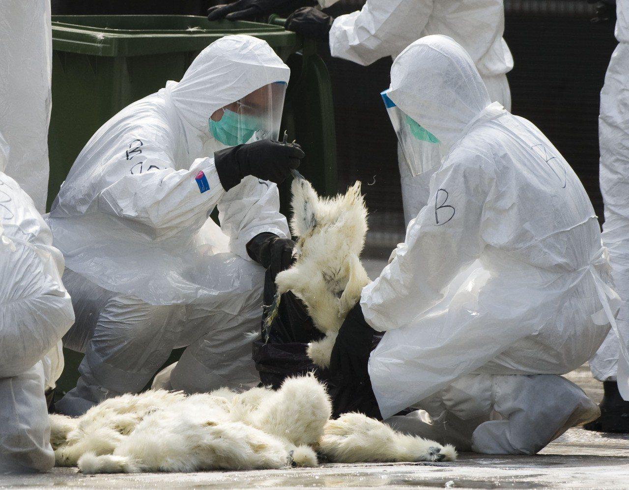 雲林縣元長鄉1處鵝場隨意丟棄死鵝,被檢舉後經防疫所檢驗出H5N2禽流感,圖為示意...