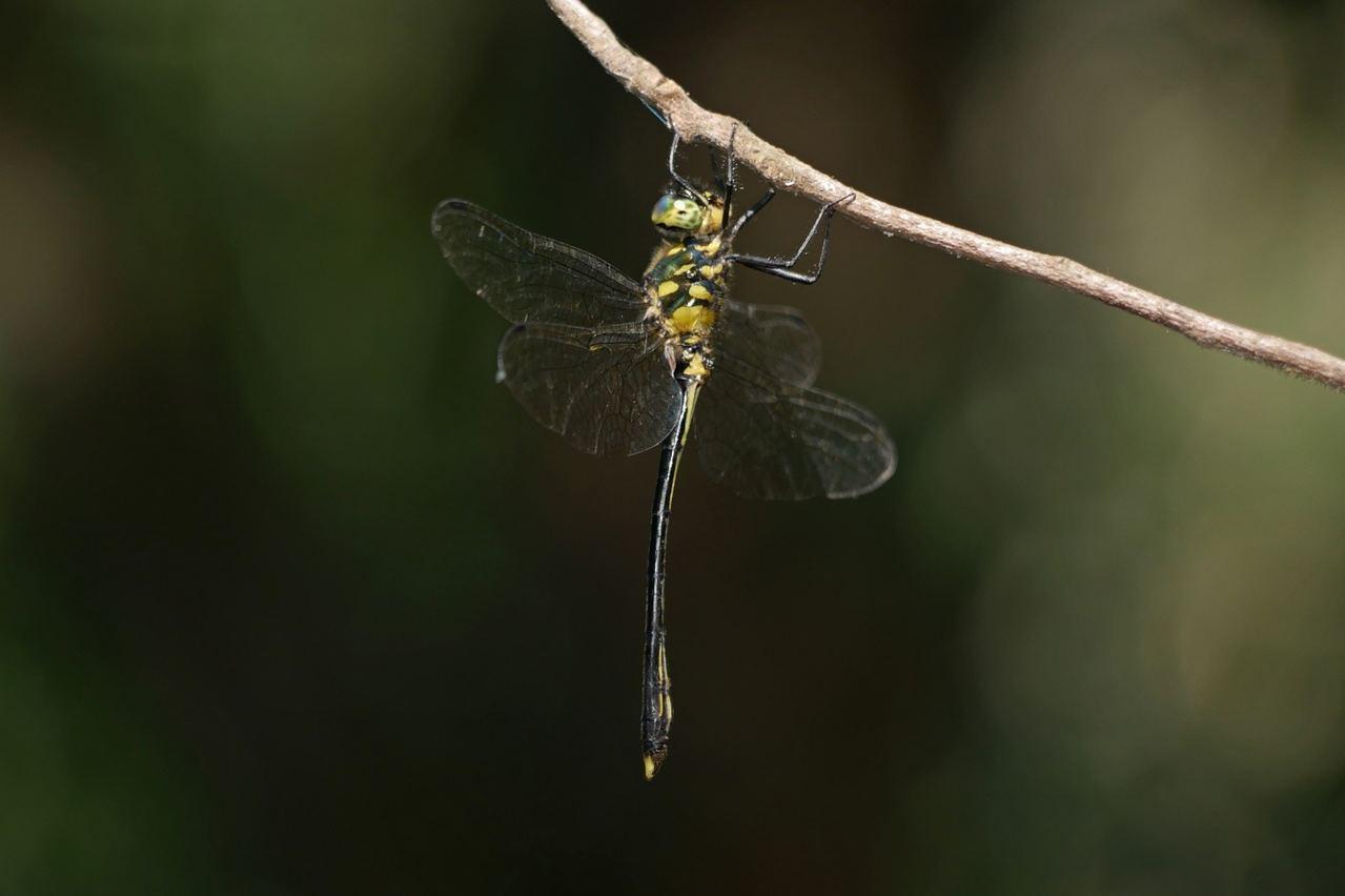 香港獨有蜻蜓品種伊中偽蜻。 圖/取材自綠色力量