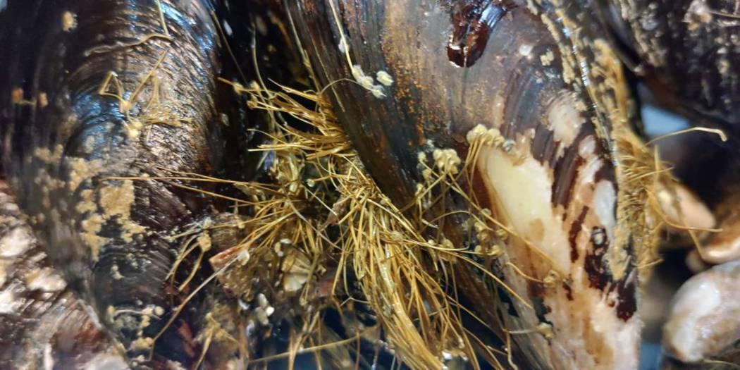生長在馬祖海域的「馬祖淡菜」,經國立台灣海洋大學食品科學系研究團隊證實具有生殖保...