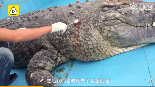 去年送養廈門的鱷魚「小河」遭陸客扔石砸頭流血。圖/翻攝自梨視頻