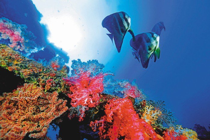 太平島海域生態豐富,可以看到尖翅燕魚(鯧仔)與棘穗軟珊瑚。 圖/聯合報系資料照片