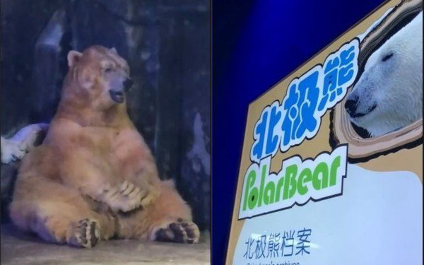 扮演北極熊的棕熊在冷氣房冷到皮皮剉。圖/翻攝自微博