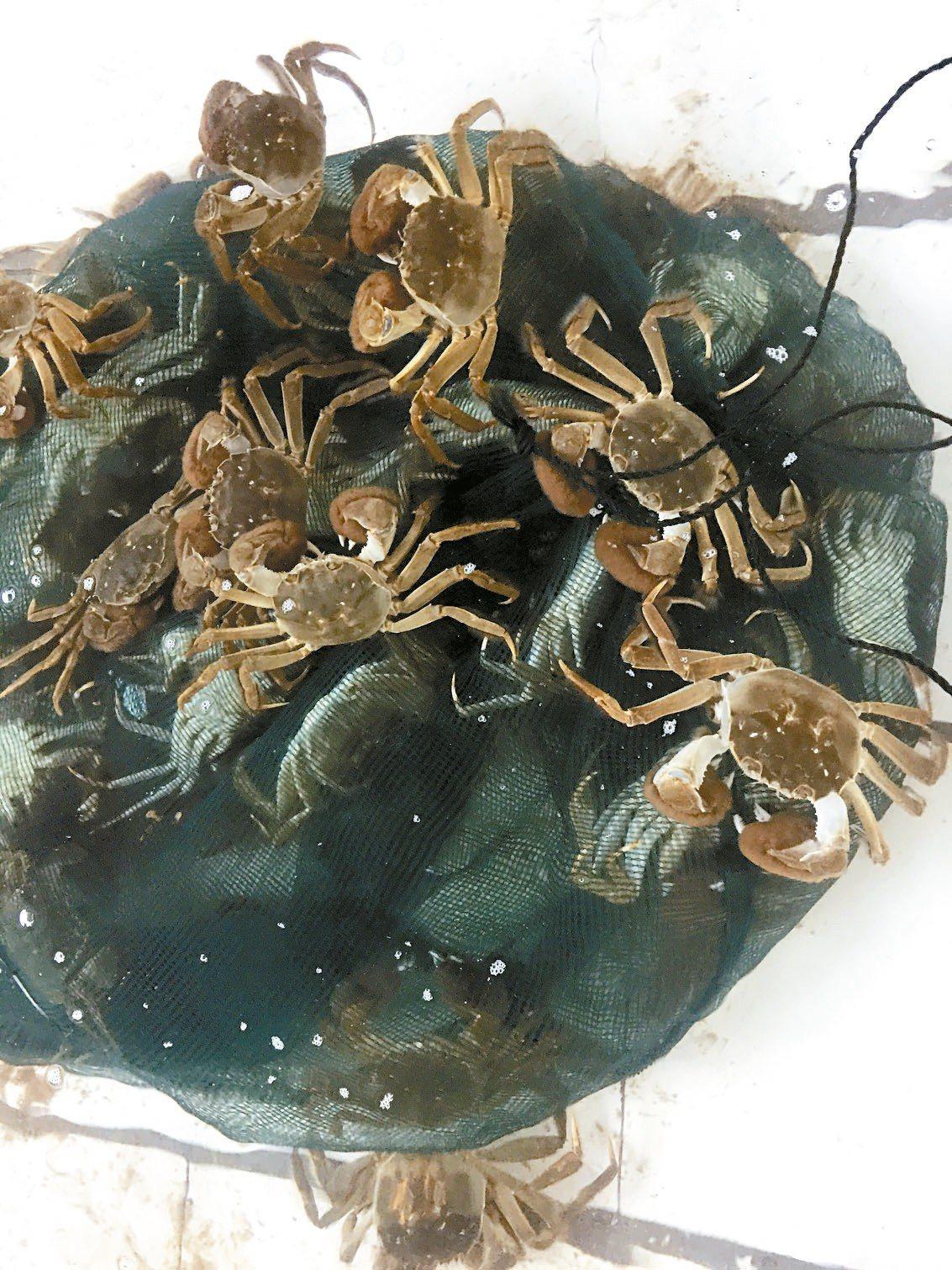 洪澤湖大閘蟹,被譽為「中國最乾淨的螃蟹」。 記者汪莉絹/攝影