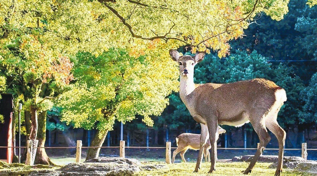 京都和奈良賞楓踩點之一奈良公園。 圖/Klook客路、Booking.com提供