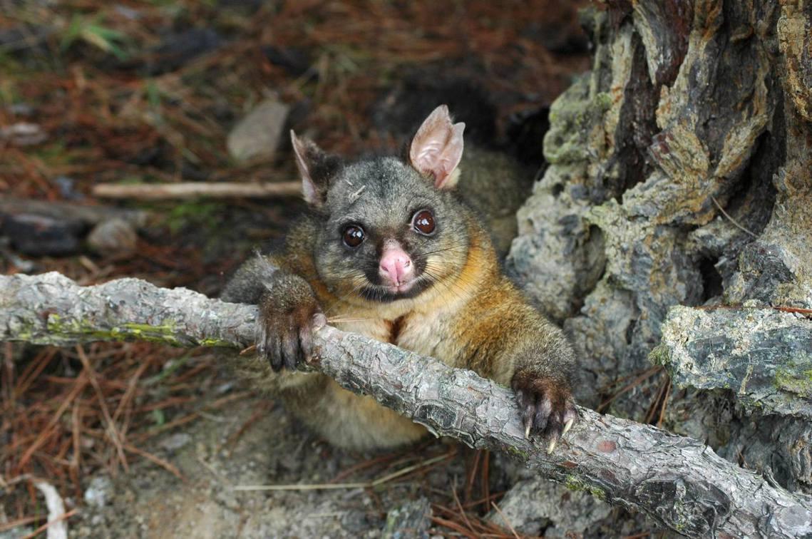 紐西蘭為了保護原生特有種動植物、以及天然植被環境不受破壞,針對造成威脅的外來種掠...