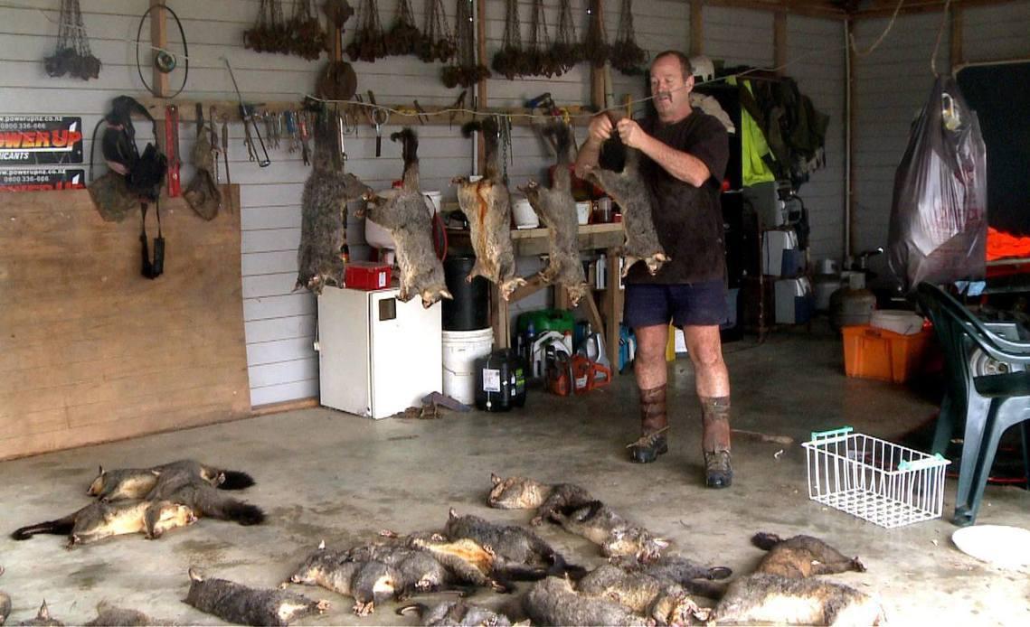 在紐西蘭針對負鼠的「掃蕩消滅」。 圖/法新社