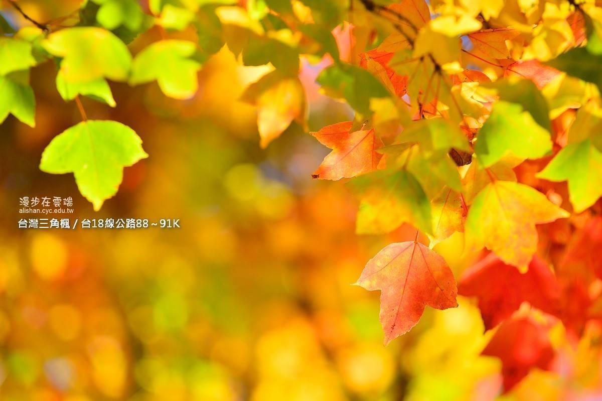 台灣三角楓楓葉僅有3個尖角,呈黃綠色。圖/漫步在雲端的阿里山粉絲團授權使用