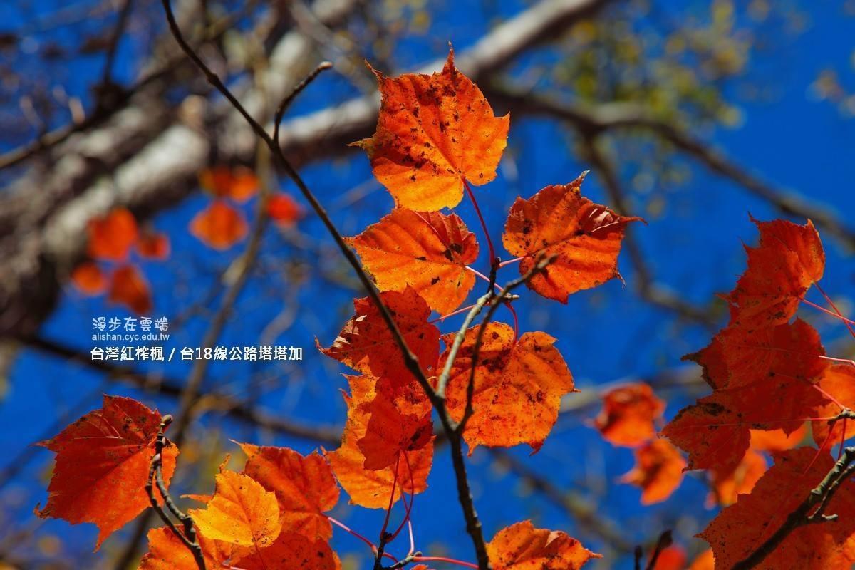 台灣紅榨槭葉片類似伸出觸角的愛心。圖/漫步在雲端的阿里山粉絲團授權使用