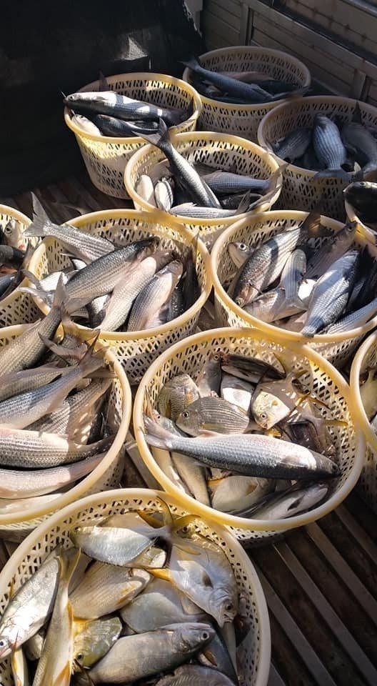 嘉義縣沿海東石鄉漁民最近出海,陸續捕撈到俗稱「小粕仔」的海烏魚。圖/張金國提供