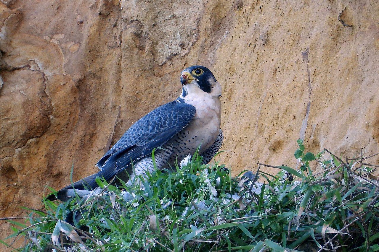 遊隼正站在鴿子上面拔毛,高興地吃得滿嘴毛。圖/沈錦豐提供