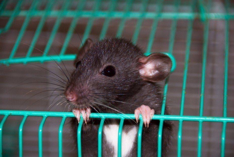 老鼠。示意圖/ingimage