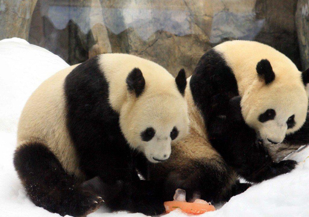 大熊貓盈盈、樂樂。 中通社