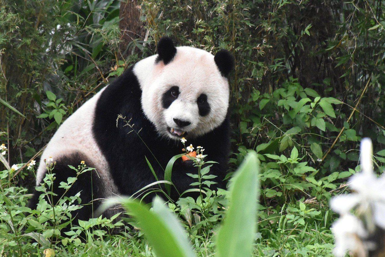 「圓仔」就是愛熱鬧! 圖/臺北市立動物園提供