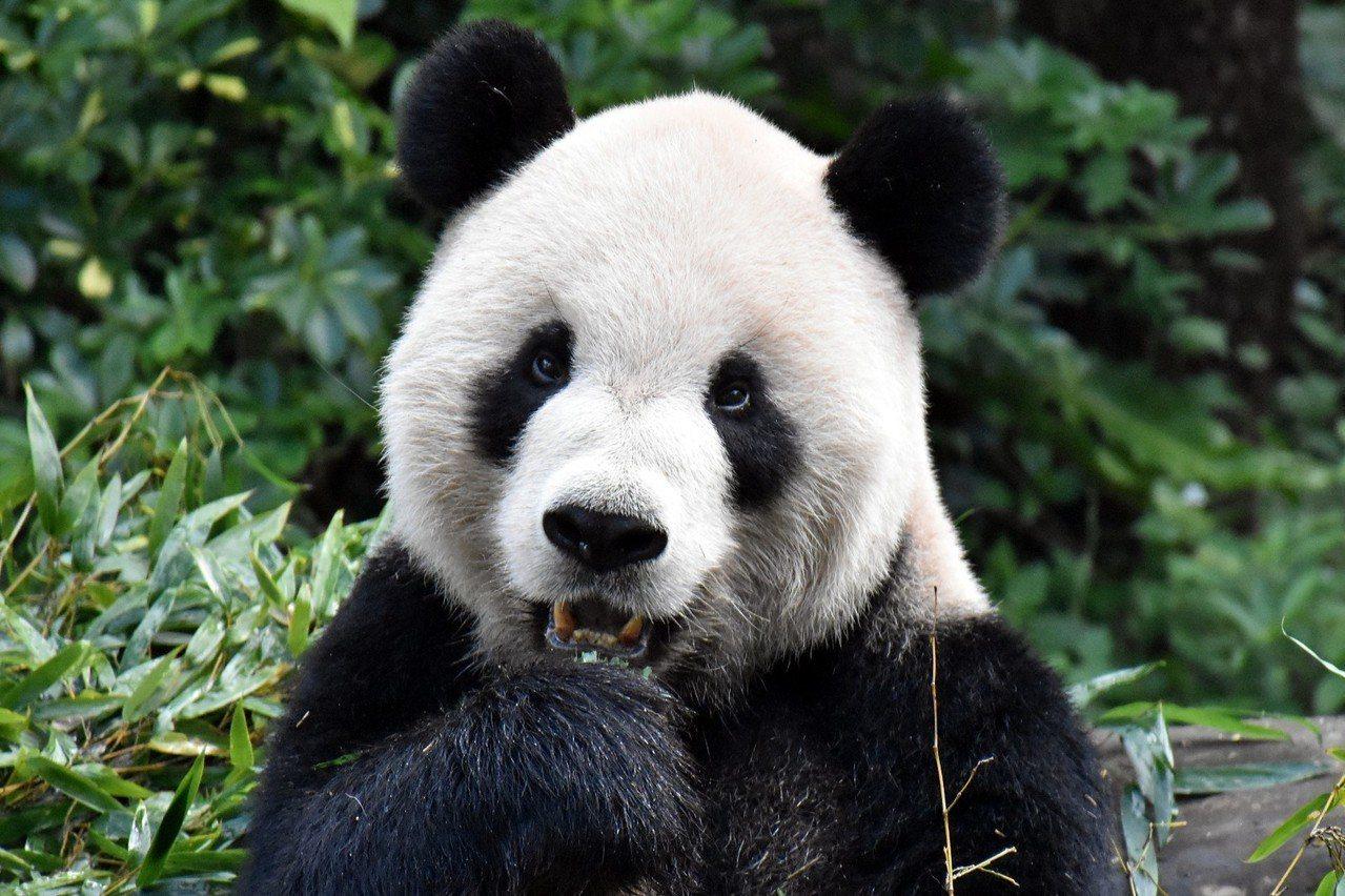 「團團」:你在看我嗎? 圖/臺北市立動物園提供