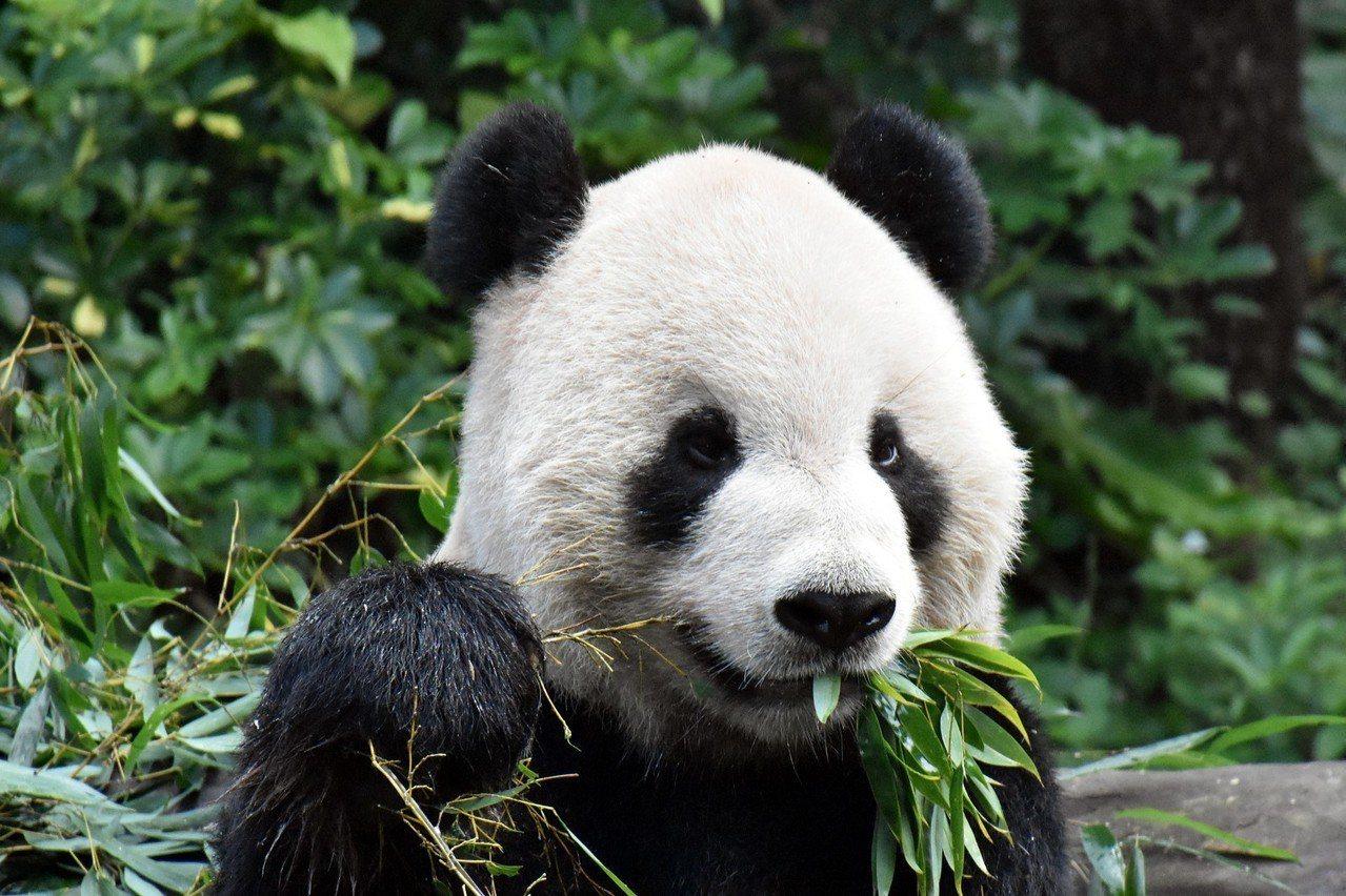 「裝Q萌的團團」:可不能讓「圓仔」專美於前! 圖/臺北市立動物園提供