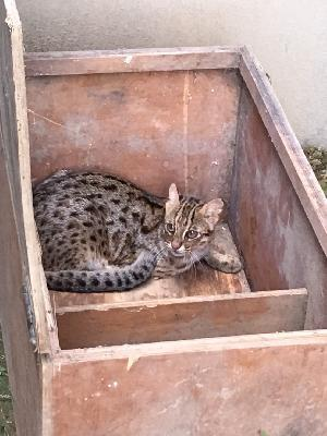台北市立動物園收容1對苗栗石虎。圖/苗栗縣府提供