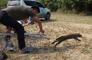 台灣石虎保育協會、苗栗縣府最近野放4隻闖入雞舍被捕的石虎。圖/苗栗縣政府提供