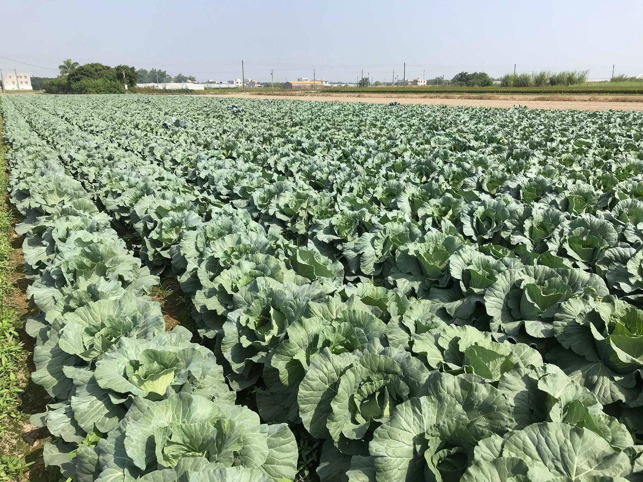 天氣大好,高麗菜盛產,價格低迷,農委會啟動調節措施。圖/農民提供