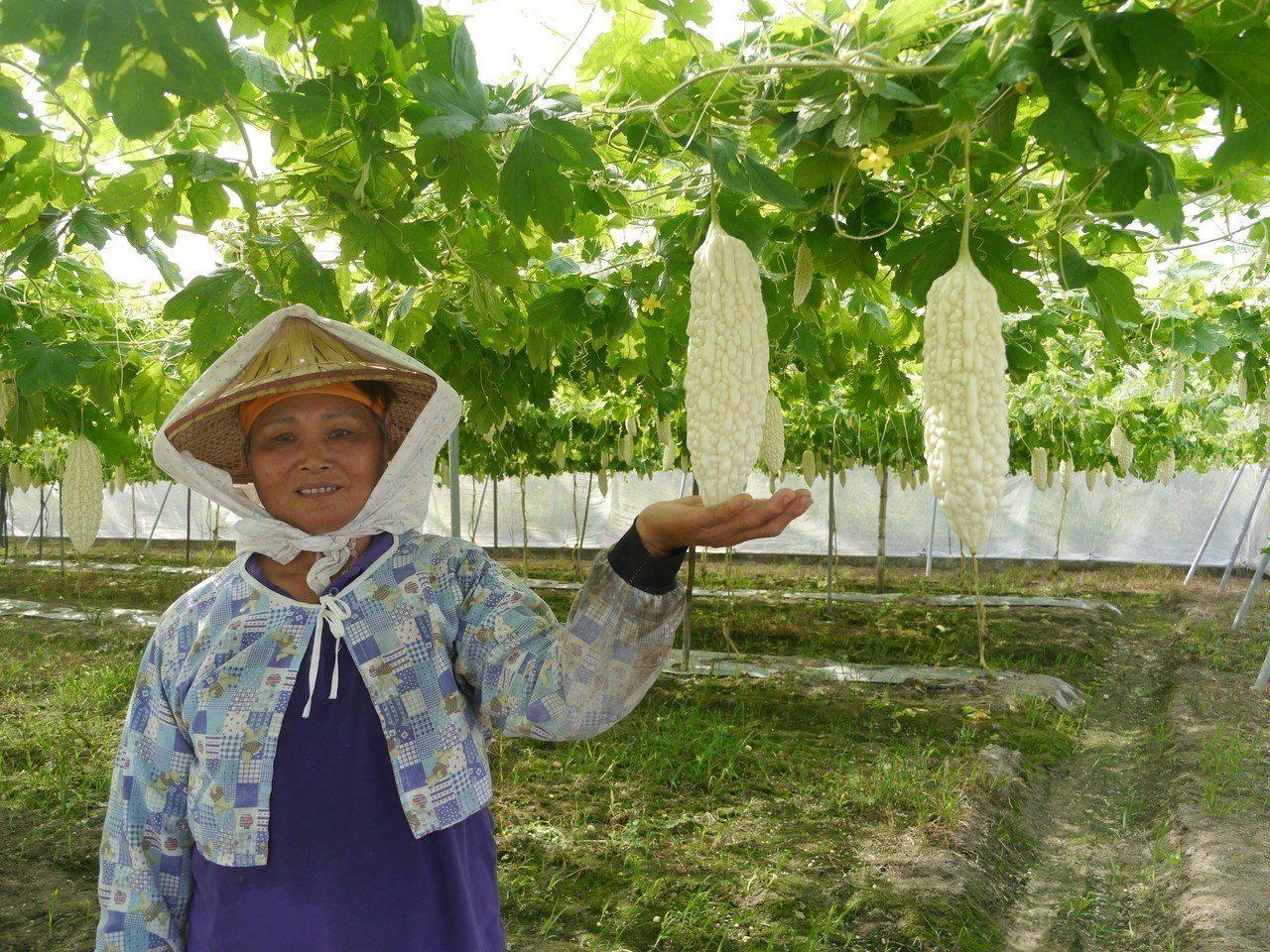 杉林區種植大約50公頃苦瓜,約9成是白玉苦瓜。記者徐白櫻/攝影