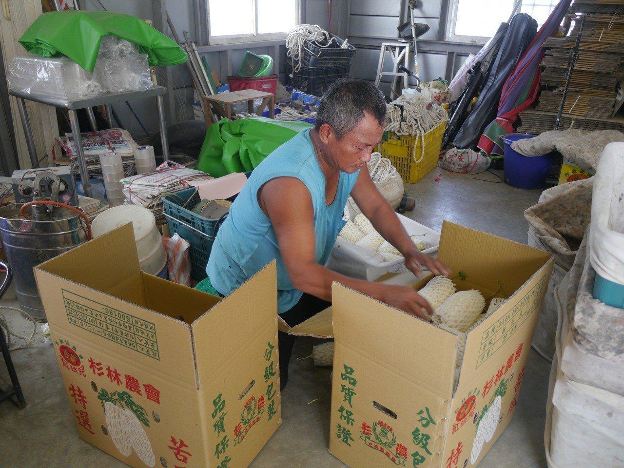 白玉苦瓜進入產季,農民忙著包裝銷往各地。記者徐白櫻/攝影