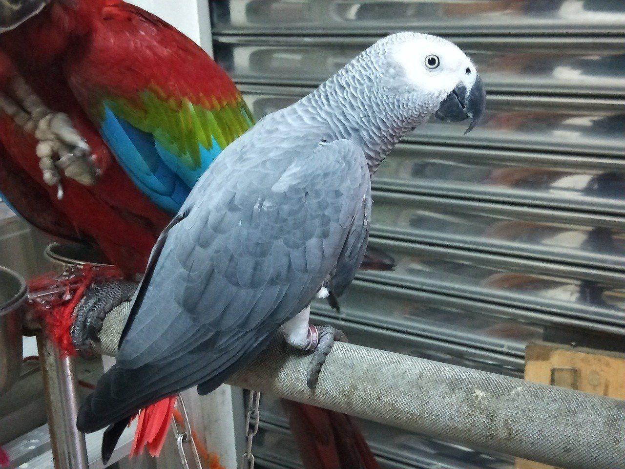 碗粿阿嬤的兒子飼養的一隻灰鷹鸚鵡「發財」,學會叫「賣碗粿喔」、「小姐,愛碗粿嘸?...