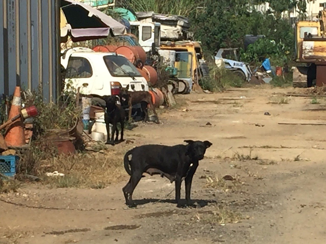 草屯鎮李姓婦人遭狗群攻擊後,工寮主人已將所有犬隻栓上狗鍊。圖/周姓讀者提供