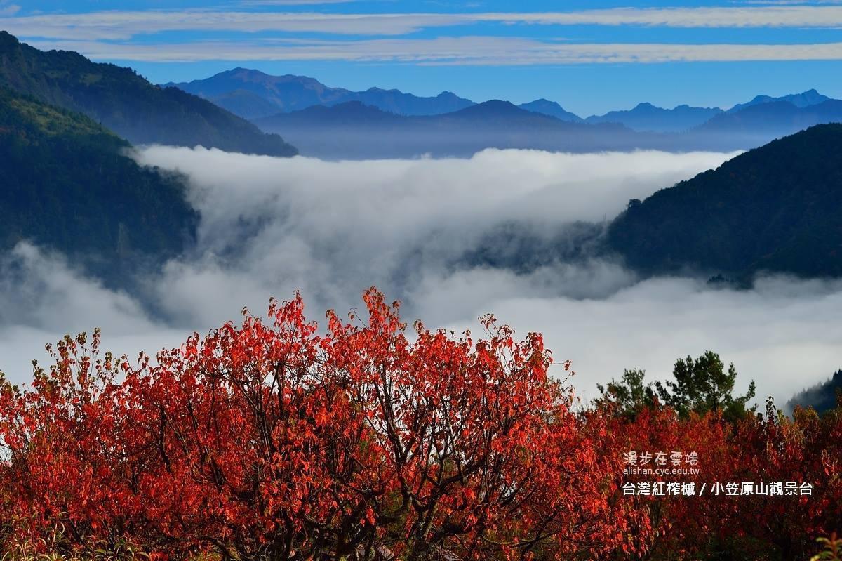 小笠原山觀景台,可遠眺山巒、雲海及台灣紅榨楓。圖/《漫步在雲端的阿里山》粉絲團授...
