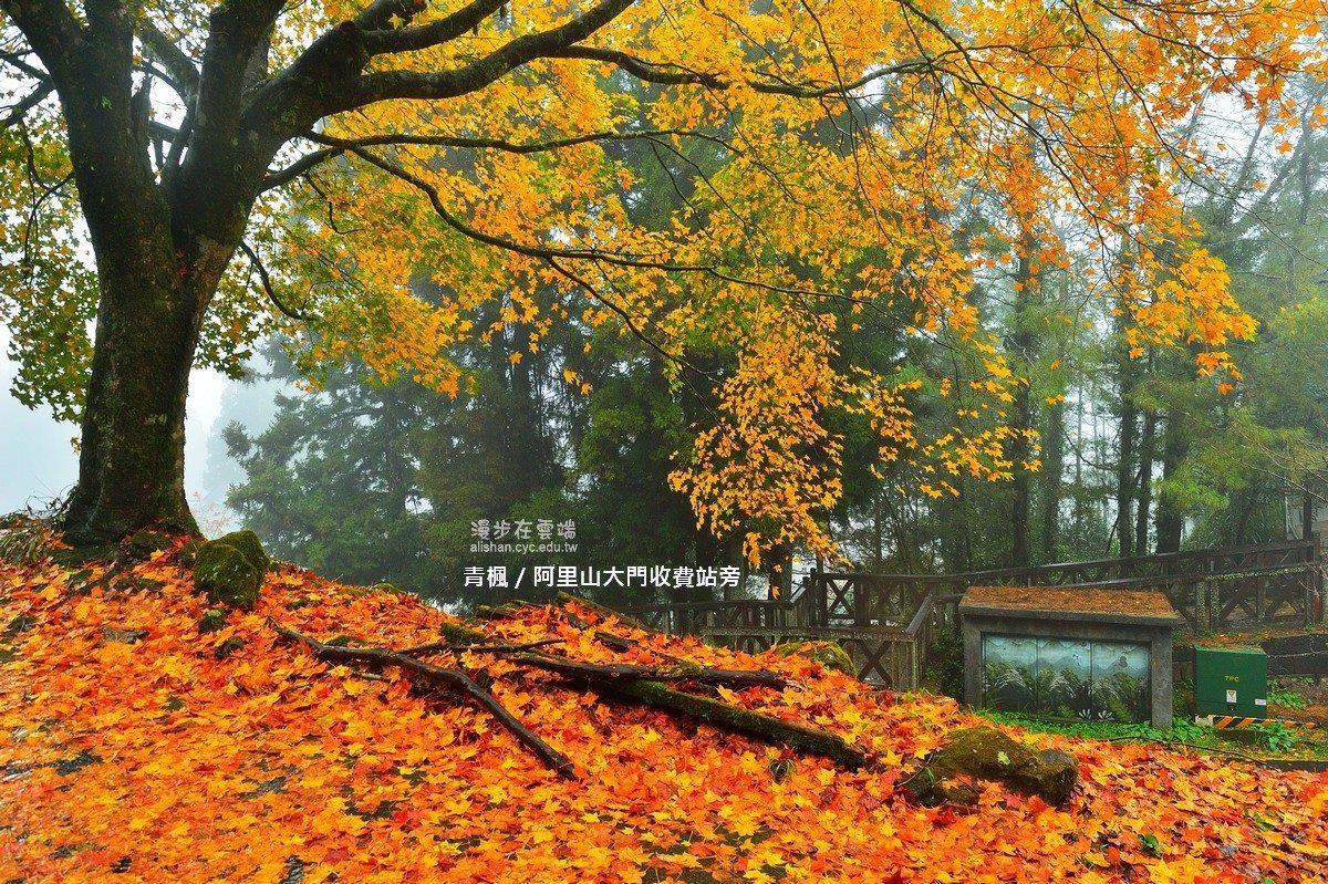 阿里山大門收費站旁的青楓。圖/《漫步在雲端的阿里山》粉絲團授權使用
