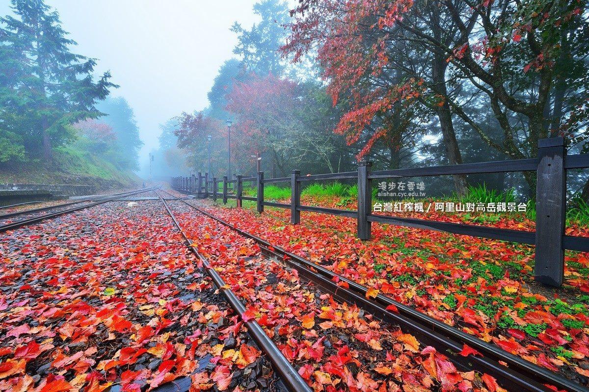 對高岳觀景台,能夠觀賞台灣紅榨楓。圖/《漫步在雲端的阿里山》粉絲團授權使用
