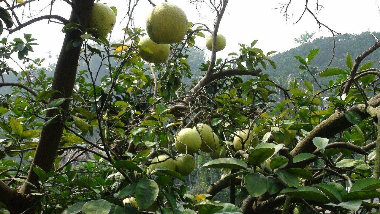 不只文旦柚產銷失調,大白柚、葡萄柚等柚類,近來收購價格都很低。記者謝恩得/攝影