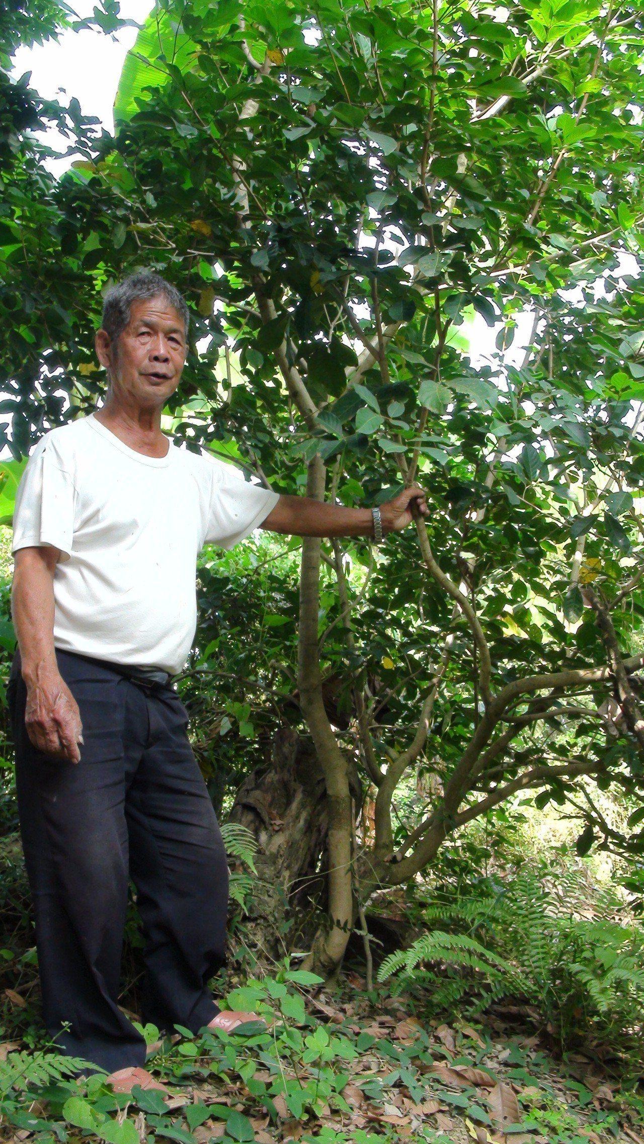 76歲果農陳政雄在30多年前栽種的第一棵紅毛丹,主幹被颱風吹倒後,又冒出新枝幹。...