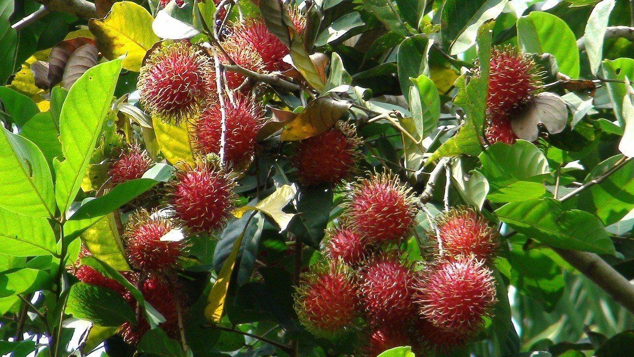 竹崎鄉沙坑村農民栽種的紅毛丹。記者謝恩得/攝影