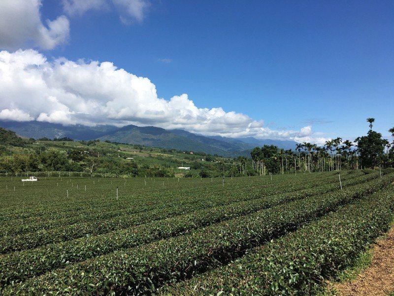 花東縱谷上的有機茶園,風景秀麗,可遠眺瑞穗;遊客可下茶園採茶、煮茶,更有日本旅客遠道來體驗採茶。(江睿智攝)
