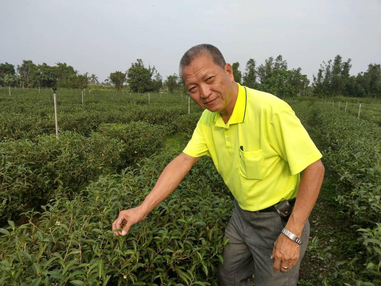 屏東高樹的65歲郭榮冠是退伍軍人,3年前開始在家鄉種植茶樹目前種植面積達兩公頃,...