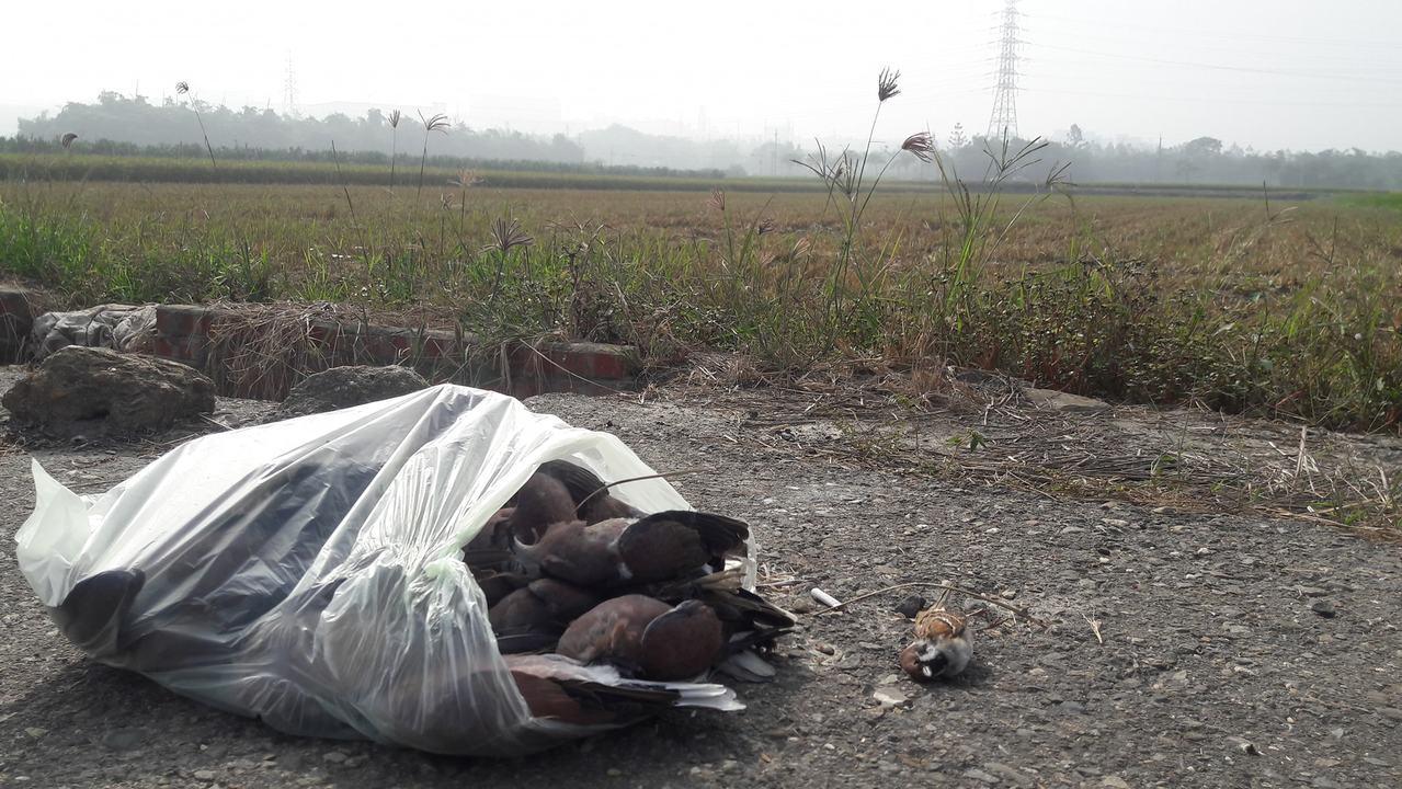 動保志工在嘉義縣民雄鄉一處農田周邊,發現超過400隻包括樹鵲、小雲雀、鳩鴿科等疑...