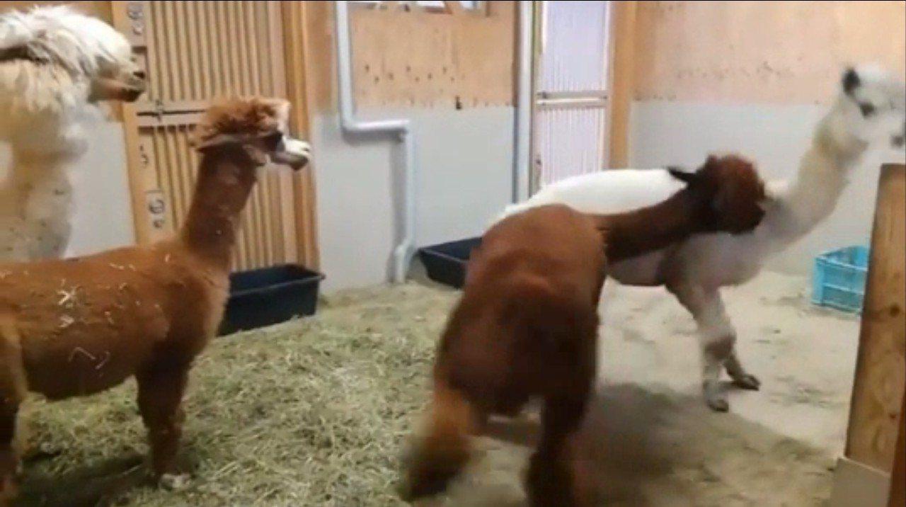日本網友日前在推特上,分享了一段草泥馬打架影片;兩隻草泥馬無故打架,你推我擠,又...