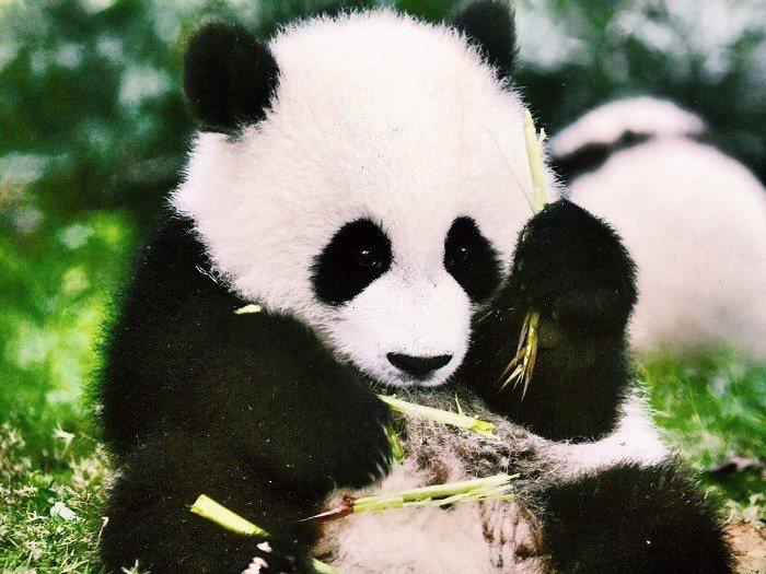 成都─熊貓基地。 圖/you.ctrip.com