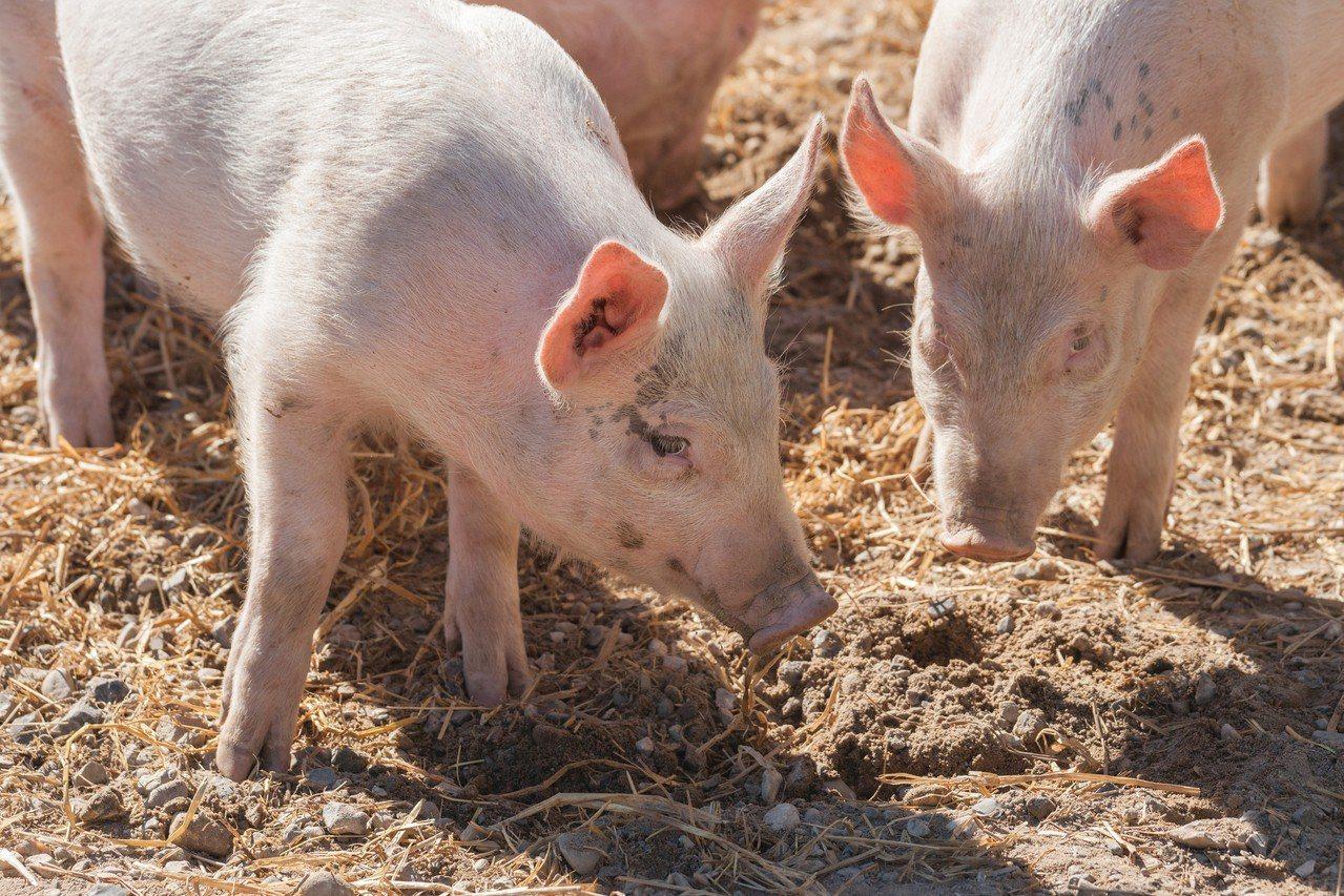 示意圖。日本岐阜縣岐阜市一處養豬設施,16日有豬隻被檢出疑似感染豬瘟,是繼9月後...