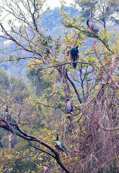 金門的孔雀數量大爆發,網友拍下一棵樹上有多隻孔雀棲息的照片,笑說這張照片價值3千...