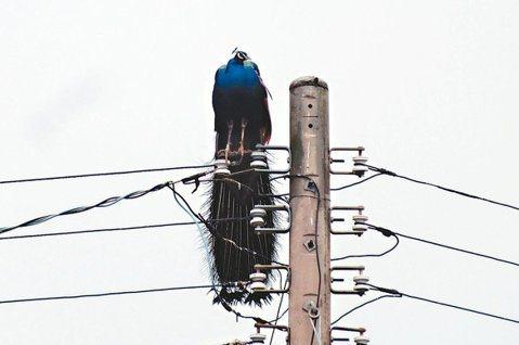 金門的孔雀喜歡站在高處,電線桿也成為棲息場所。圖/報系讀者提供