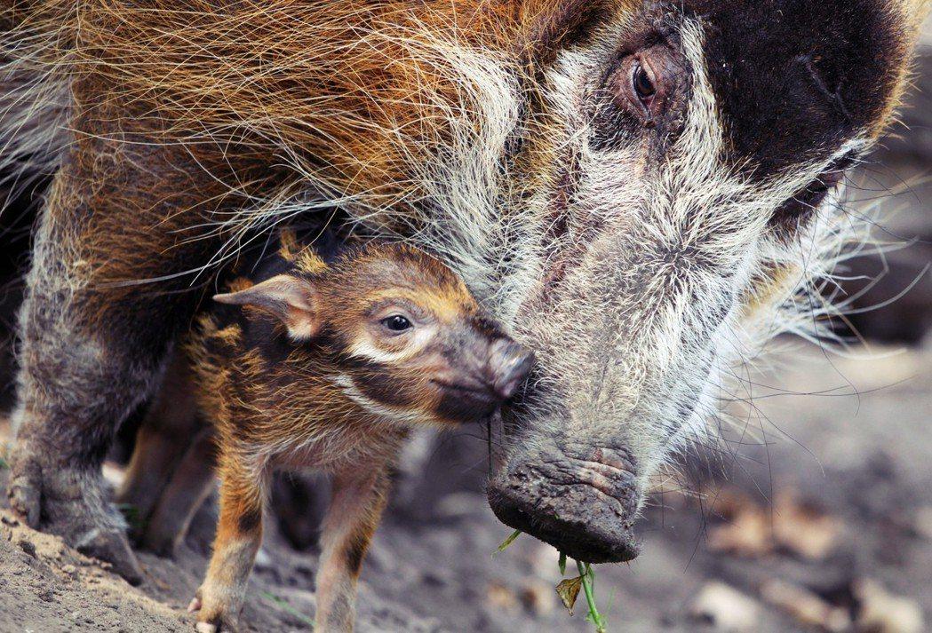 非洲豬:主要分布在西非與剛果森林的「紅河豬」。 圖/法新社